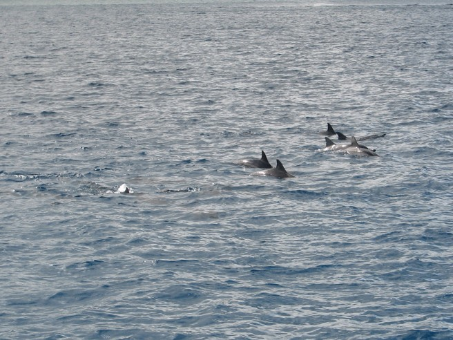 The dolphins. © Colline Kook-Chun, 2013