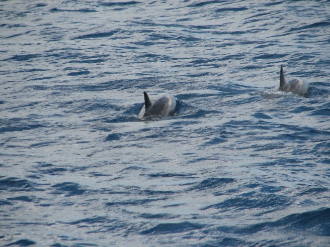 A quick capture of the dolphins. © Colline Kook-Chun, 2013