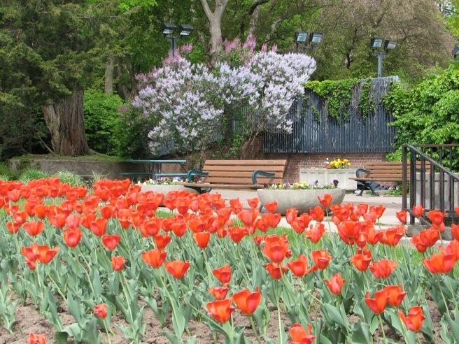 Tulips and a park bench. © Colline Kook-Chun, 2013