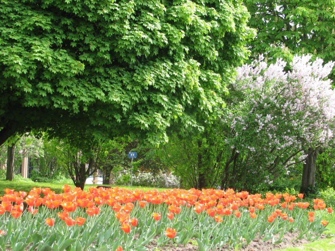 Tulips in a park. © Colline Kook-Chun, 2013