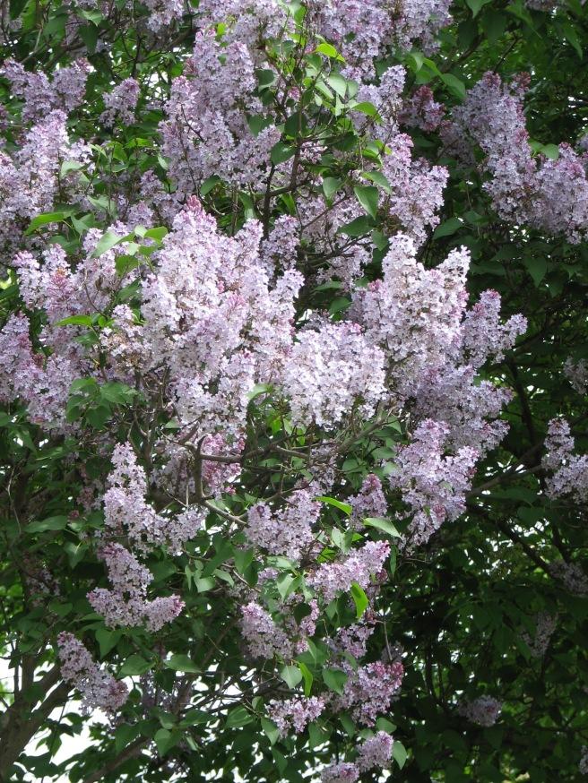 Lilac tree blossoms. © Colline Kook-Chun, 2013